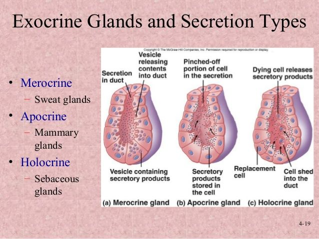 Image result for types of exocrine glands