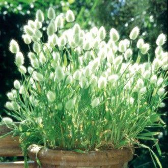 Elegant Hasenschwanzgras uBunny Tails u als Sichtschutz auf dem Balkon GartenpflanzenMein GartenSch ner