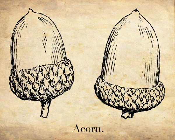 "Drowings Imags: Antique Botanical Print ""The Acorn"" Oak Forest Woodland"