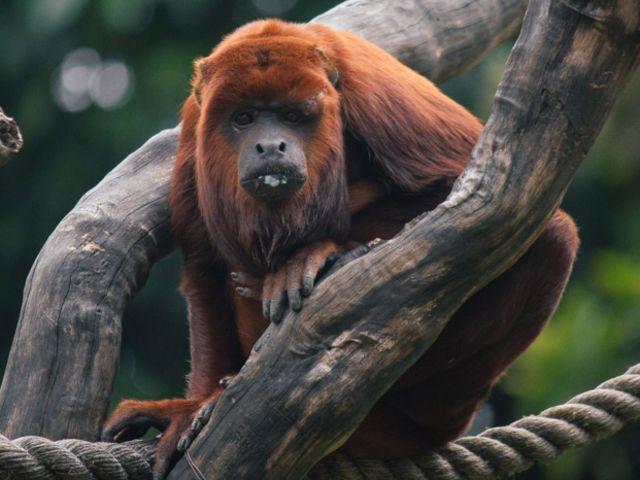 ¿Para qué aúlla el mono aullador rojo?