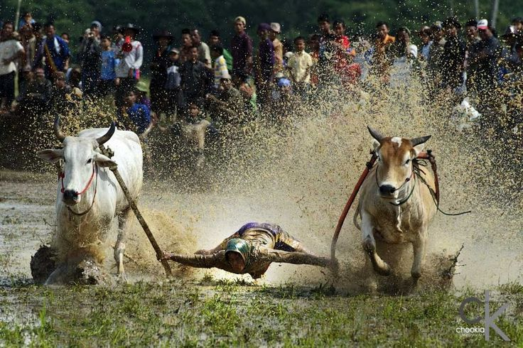 "Photo ""Pacu Jawi Cow's Race # 3"" by CK NG (@CK NG) #500px http://500px.com/photo/46870912"
