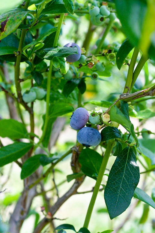 Fruit Picking in New Jersey. Blueberries.