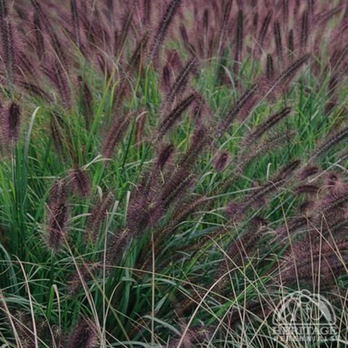 66 best grasses and sedges images on pinterest garden for Hardy fountain grass