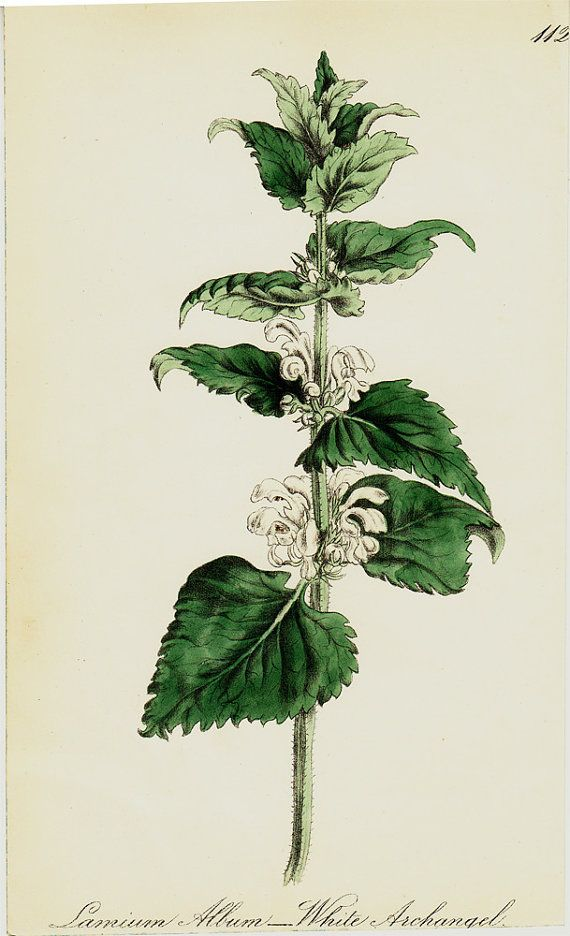 1863 antieke FLOWER print handcolored wit door TwoCatsAntiquePrints