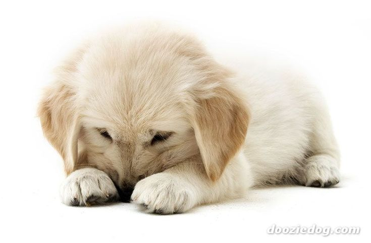 Golden Retriever as a Puppy .