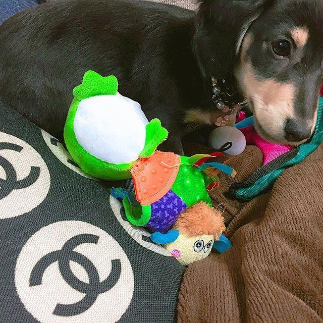 さらにピチピチの若き頃🐶 #family #dogstagram #dog #instagood #instagram #iggy #l4l #love #like4like #black #puppydog #ミニチュアダックス #わんこ #愛犬 #短足部 #犬