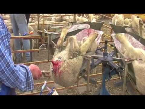 Mulesing- Cruel to Be Kind - YouTube. The truth about mulesing. What you thought to be a lie made up by PETA is revealed in this short documentary on the process known as mulesing.