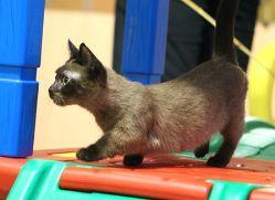 Dwarf cat. Looks kinda like a mini Noah!!