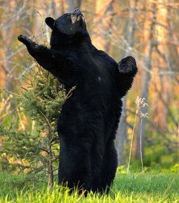 foto de un oso negro en una pose de declamación                                                                                                                                                                                 Más