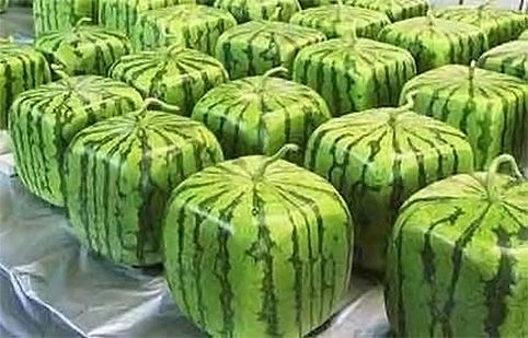 grow your own square watermelons!
