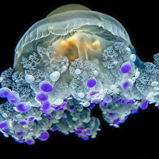 The amazing diversity of the Jellyfish.