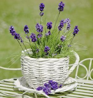 Best 25+ Lavender plants ideas on Pinterest | Growing lavender ...