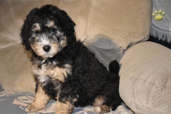 Dirk F1b Mini Bernedoodle Puppy For Sale In Elliottsburg