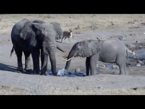 LIVE: Wild Elephants at African Watering Hole | The Dodo LIVE - YouTube
