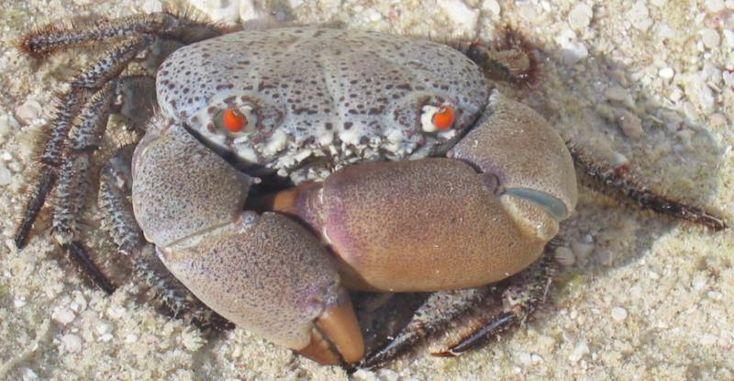 Stone Crab, Diego Garcia Indian Ocean