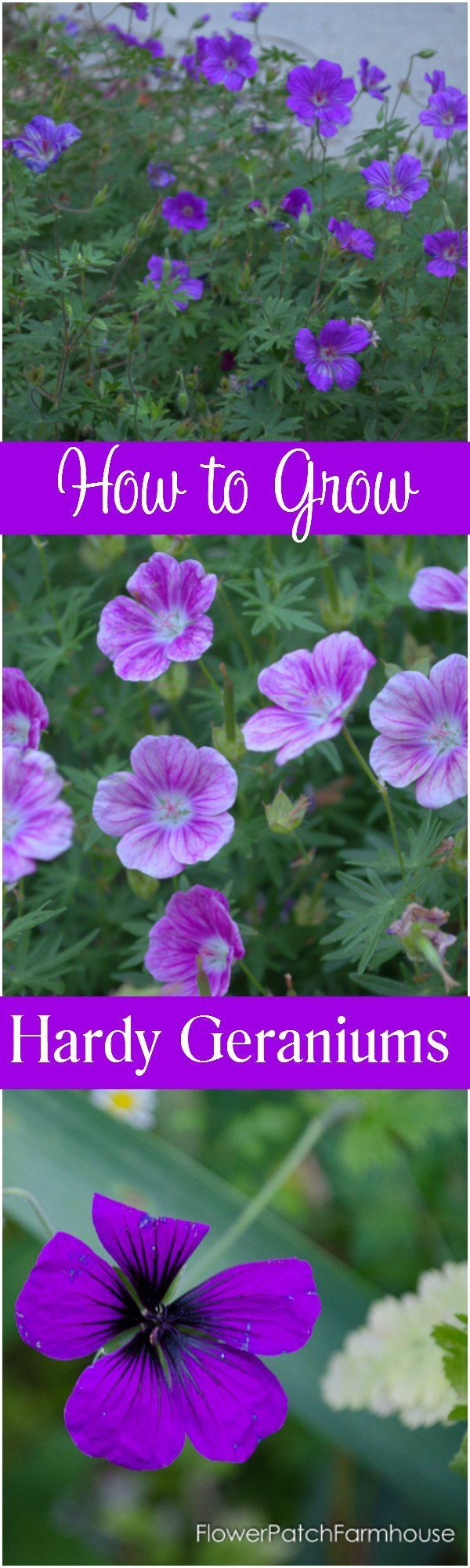Easy to Grow even for the Beginner! Hardy Geraniums fill in those niches that need a bit of something tough and hardy yet still beautiful and easy to manage! Come garden with me! http://FlowerPatchFarmhouse.com