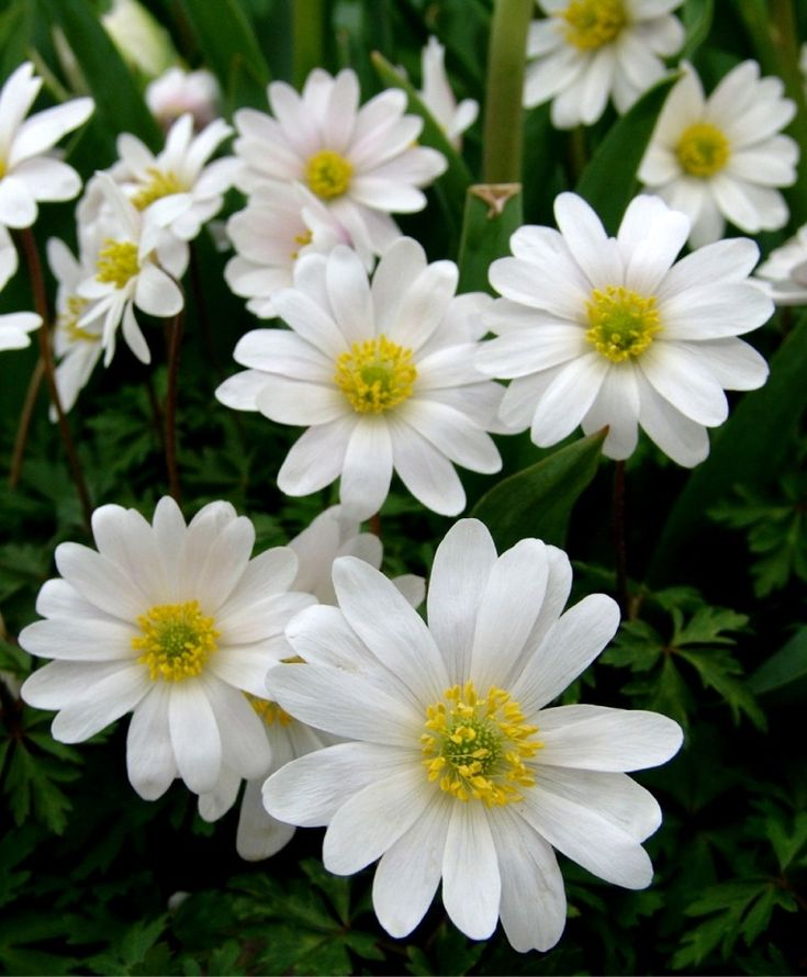 Anemone blanda White Splendour - Anemone blanda - Flower Bulbs Index