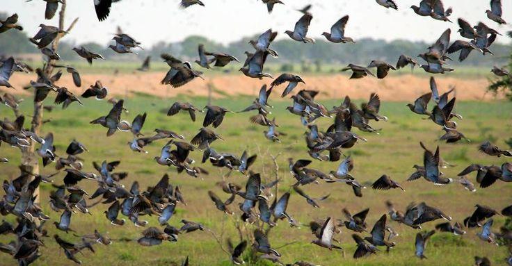 Dove hunting