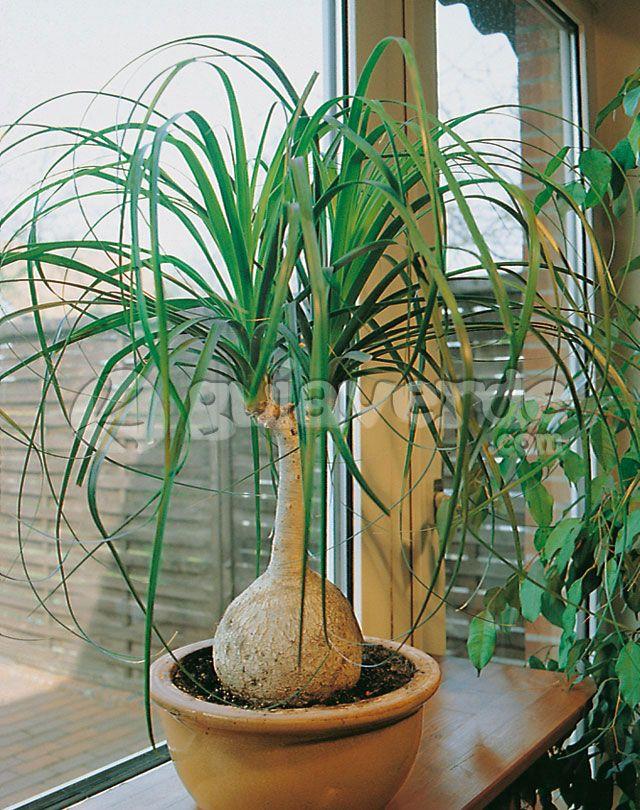 Nolina, Pata de elefante-Beaucarnea recurvata - planta para interior de cada