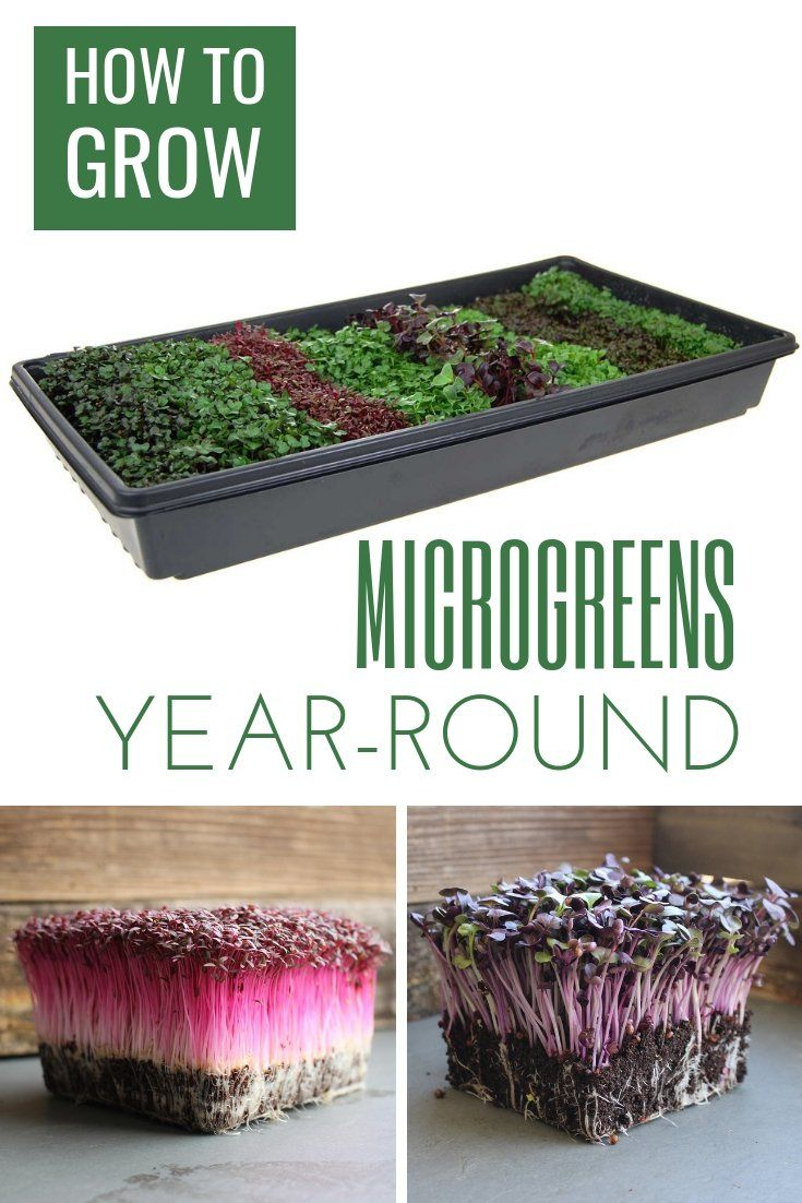 Microgreens Are Among The Easiest Type Of Vegetable To Grow