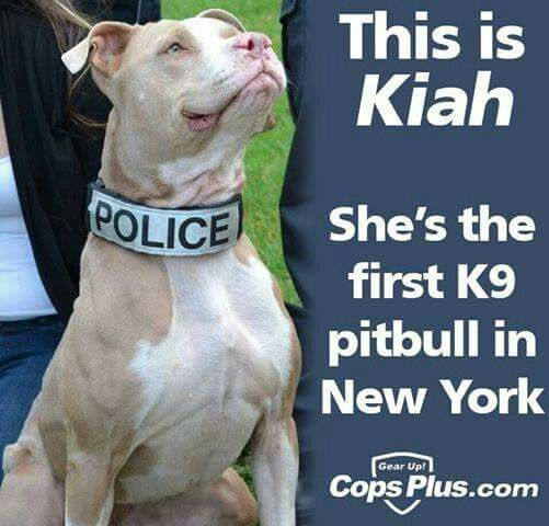 Kiah looks so proud to be on the force! Awesome! #pitbulls #k9 #police #dogs