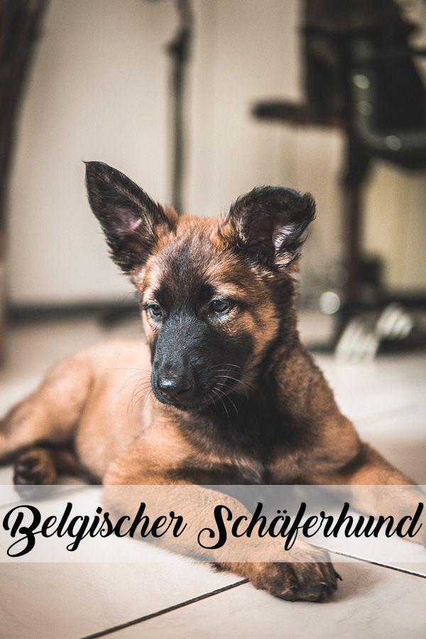 Malinois Hund Malinois Dog Malinois Puppies Belgian Malinois