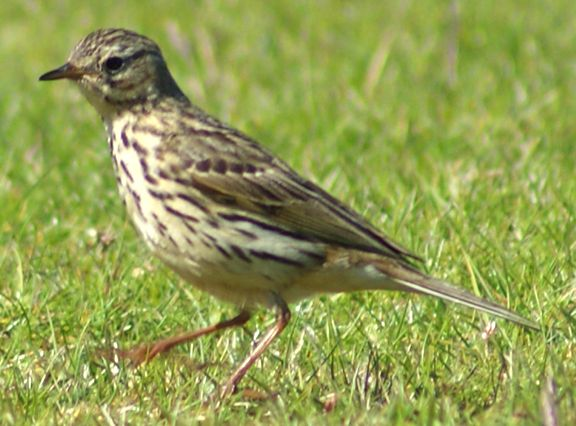 Meadow Pipit | meadow pipit garry tolsta ref mea1000 this lovely meadow pipit was ...