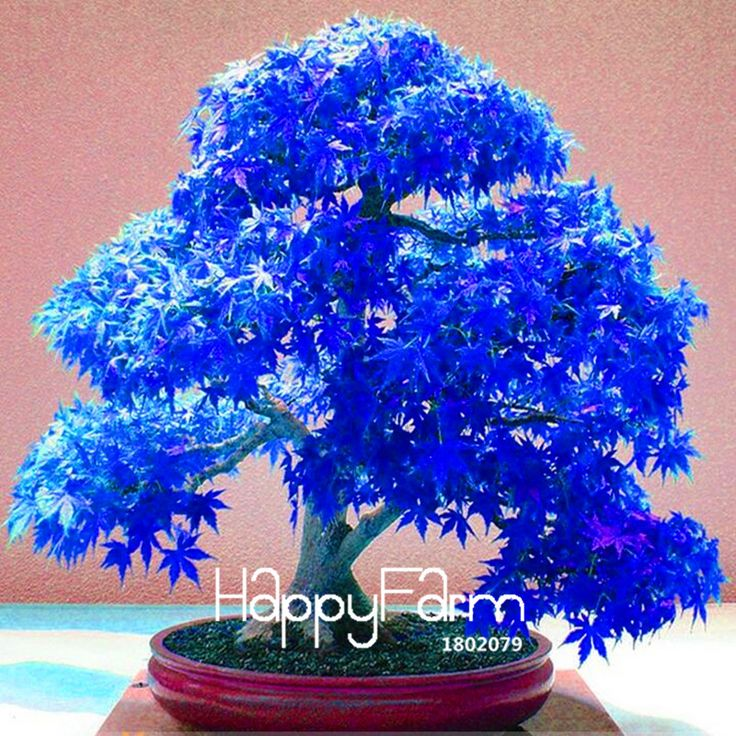 Lowest Price! 20 Seeds/Lot Real Japanese Ghost Blue Maple Seeds Rare Balcony Bonsai Tree plants for home garden