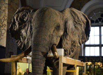 Opgezette olifant verhuist van het Afrikamuseum naar Technopolis