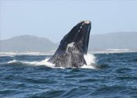 What to do and see in Hermanus... Hermanus is a spectacular seaside town with winding cliff paths, sloping green mountains, and deep blue waters. It's the perfect place to catch a glimpse of some enchanting marine life while inhaling the fresh sea-air.  Here are some exciting things to do while you're here: Whale Watching Known as the Whale ca...