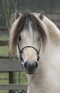 A Very Pretty Norwegian Fjord Horse. I Like This Lighter Color.
