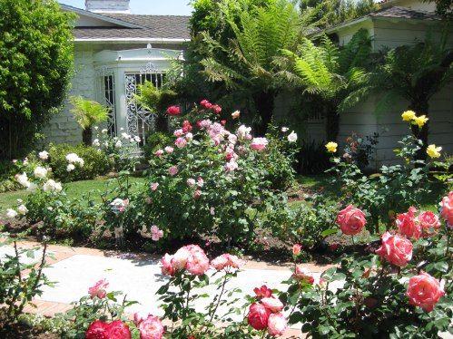 Best 25 Rose Bush Ideas On Pinterest Roses Garden Trim Bushes And Cuttings