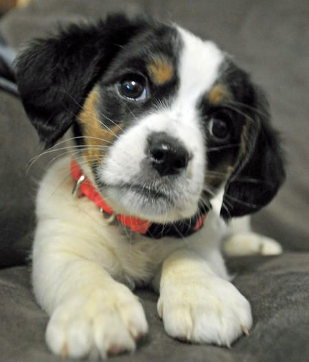 Echo the the Mixed Breed -- Puppy Breed: Cavalier King Charles Spaniel / Jack Russell Terrier