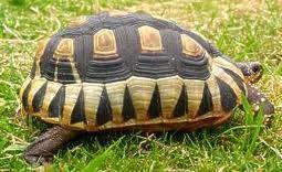 The tortoise is Segefield's mascot.