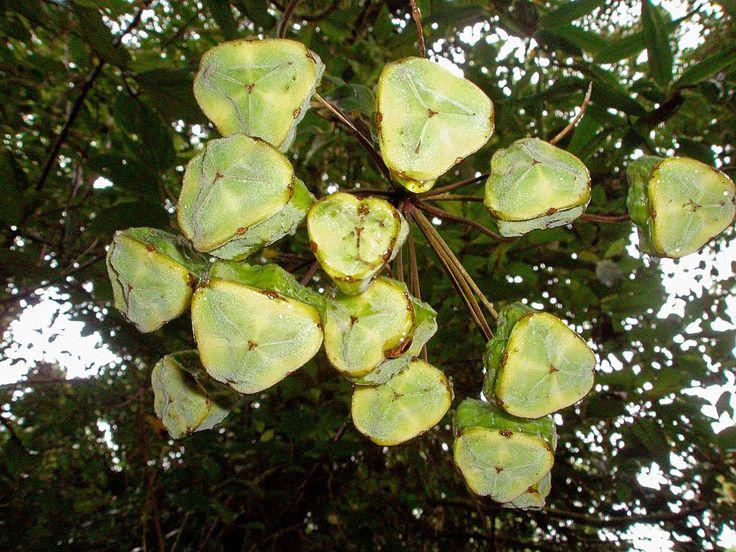 Another strange fruit, from the Bomarea genus - Otra fruta extraña, del género Bomarea; Parque Internacional La Amistad, Cerro Punta, Chiriquí, Panamá