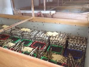 Telur Jangkrik Berkualitas 99% Pasti Menetas