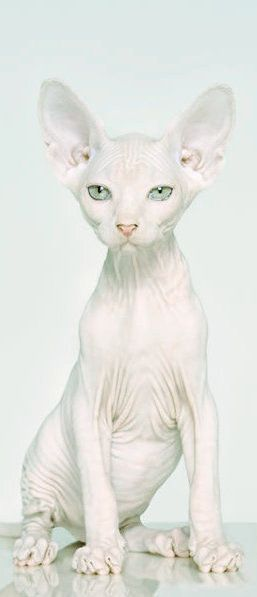 WOW.. Not a Sphynx cat I bred but I LOVE the PHOTO!  Re-pinned, here is the original text:  white Sphynx by Petrina Hicks. I'm not usually a fan of any pet being hairless and cute, but this one, I would own...