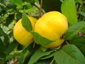Frutas do Amazonas - Araça boi é da mesma família da goiaba e jabuticaba. De cor amarelada, tem muitas sementes e é bastante aromático, pode ser saboreado ao natural, em sucos ou usado para fazer doces, sorvetes e bebidas. Possui vitaminas A, B e C. Suas raízes têm propriedades diuréticas e antidiarreicas.