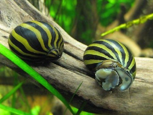 Zebra Nerite Snails                                                                                                                                                                                 More