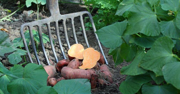 Die aus den Tropen stammende Süßkartoffel wird weltweit, besonders in Mittel- und Südamerika, Afrika und Asien, angebaut. Doch nun gewinnt sie nach und nach auch in unseren Breiten immer mehr Freunde. In warmen Sommern lässt sich die Süßkartoffel auch hierzulande ziehen.