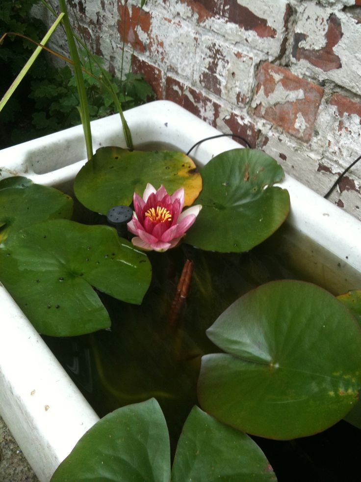 Butler sink with mini pond and established water lily. In my back yard. The solar fountain needs replacing as is broken sadly.