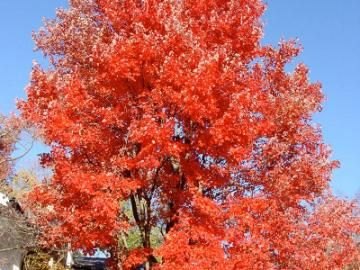 Red Sunset® Maple | Gorgeous in every season. This tree looks great all year round, producing small, red and yellow flowers in spring, medium to dark green leaves in summer, and spectacular, fire engine red foliage in autumn. Offers an impressive spread of shade. Matures to be 50' tall in full sun. Cold-hardy.