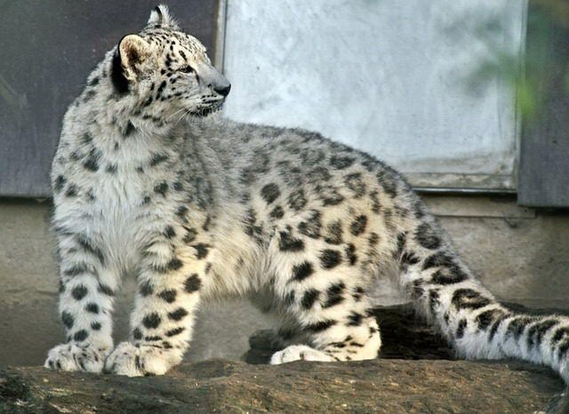 Some of the most important and useful snow leopard facts including snow leopard habitat, physical charateristics, diet, species, and reproduction.