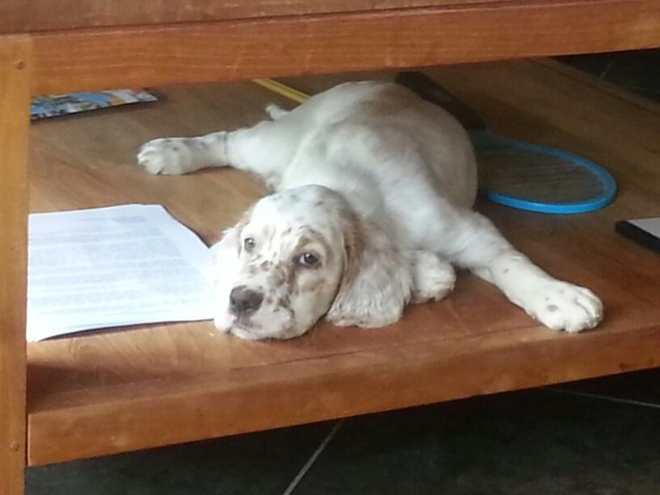 Charley the English Setter pup.