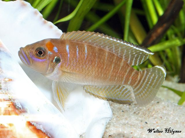 Neolamprologus Brevis 17 Best images about A...