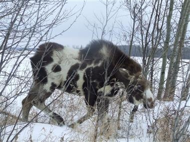 SPOTTED MOOSE