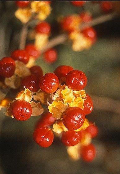 ON SALE American Bittersweet Vine Plant 2014 Seeds                                                                                                                                                                                 More