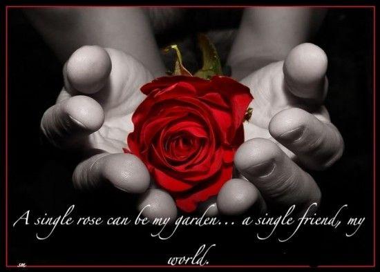 A Single Rose Can Be My Garden Friend World