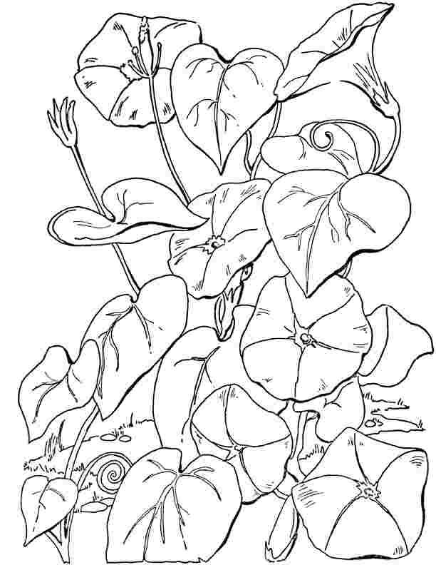 Coloring Festival Coloring Pages Of Morning Glories More Than 52