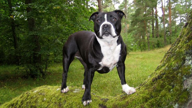 pitbull dogs   ... & Black and Gra color Pit Bull dog pictures in HD quality for free